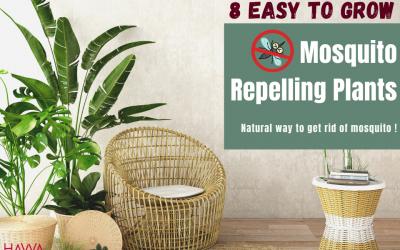 Best 8 types of mosquito repellent plant
